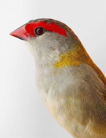 Ellery' red-browned finch