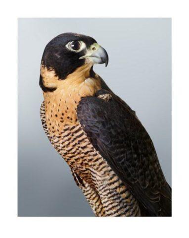 Cleo' Peregrine Falcon