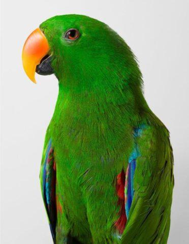 Oscar' Eclectus Parrot