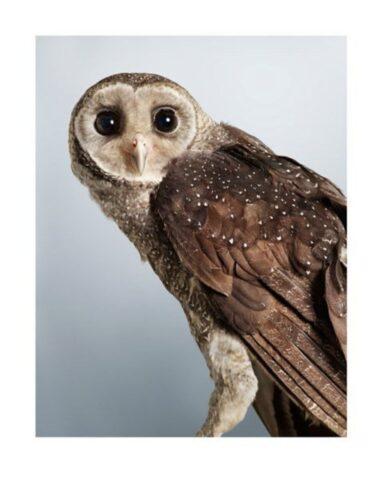 Jeda' Sooty Owl