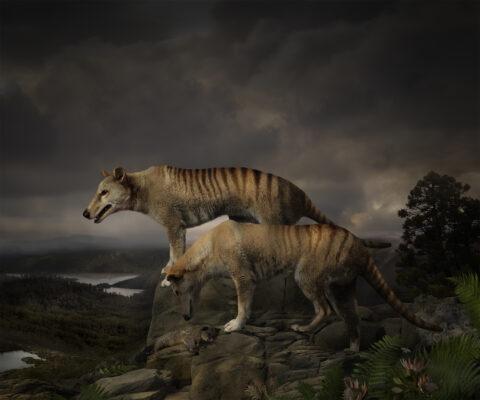 Thylacine Study #6