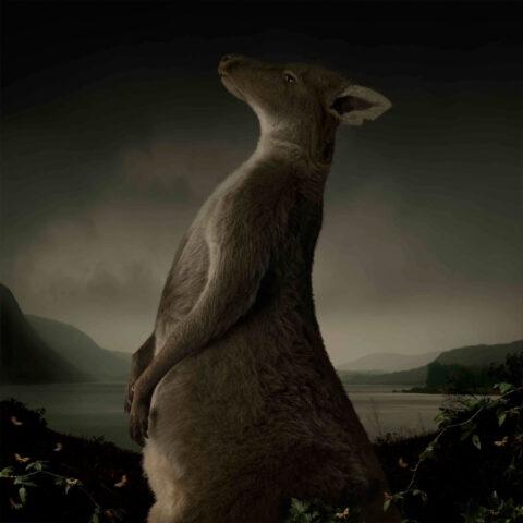 Kangaroo Study #8